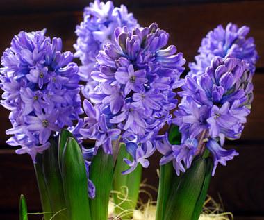 Hiacynty: Co zrobić, żeby pięknie rosły w domu?