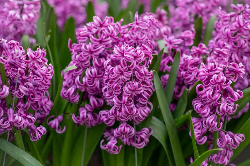 Hiacynty to jeden z symboli wiosny /123RF/PICSEL