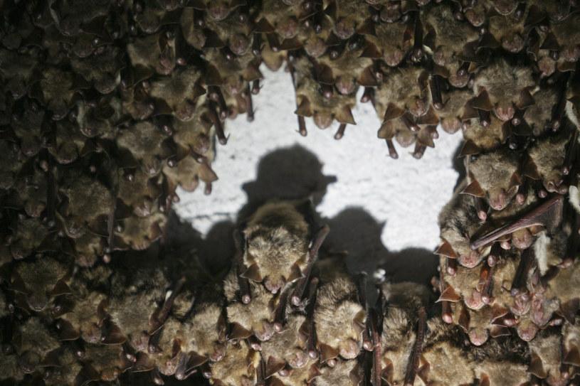 Hibernujące  nietoperze, zdj. ilustracyjne /Adam Borowy /Reporter