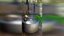 Hiena bawi się w baseniku niczym dziecko!