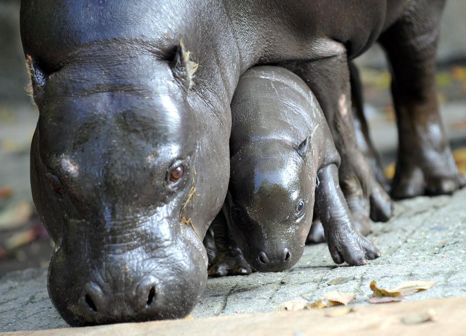 Hipopotamy karłowate /Grzegorz Hawałej  /PAP