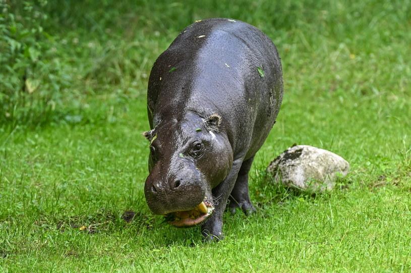 Hipopotamy mają nowy wybieg /PAP/Jan Dzban /PAP