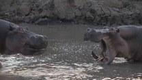 Hipopotamy uwielbiają lenić się w wodzie