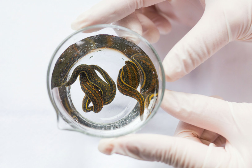Hirudo medicinalis.to popularny gatunek pijawek lekarskich /BURGER/PHANIE  /East News