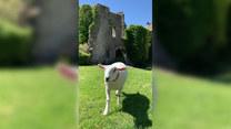 Historia pewnej owcy. Spodoba ci się
