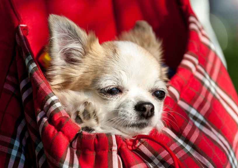 Historia psa chihuaha mrozi krew w żyłach /123RF/PICSEL