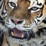 Hodowca zwierząt zabity przez tygrysa syberyjskiego