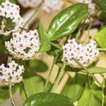 Hoja różowa: Pięknie kwitnie i oczyszcza powietrze