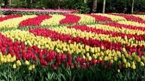 Holenderskie tulipany nie do zobaczenia