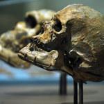 Homo erectus umieli mówić?