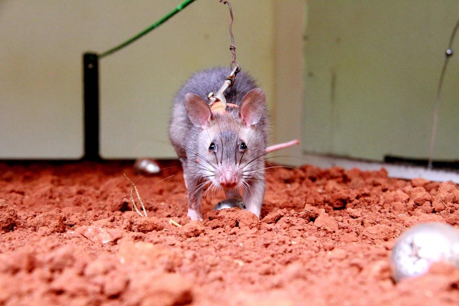 Hongkong: Drugi człowiek zarażony wirusem szczurzego zapalenia wątroby /Photoshot    /PAP/EPA