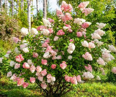Hortensja bukietowa: Kwitnie od lipca do października. Odmiany, uprawa i wykorzystanie