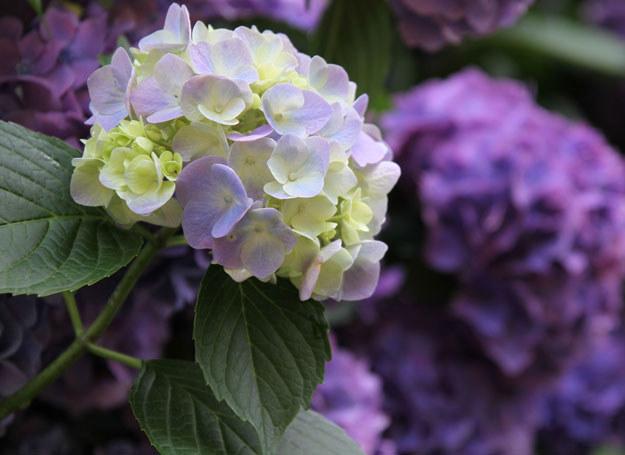 Hortensja jest jednym z trujących kwiatów /123RF/PICSEL