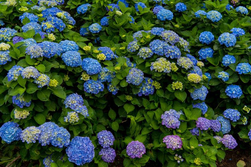 Hortensja kwitnie w zależności od odmiany na biało, różowo lub niebiesko /123RF/PICSEL