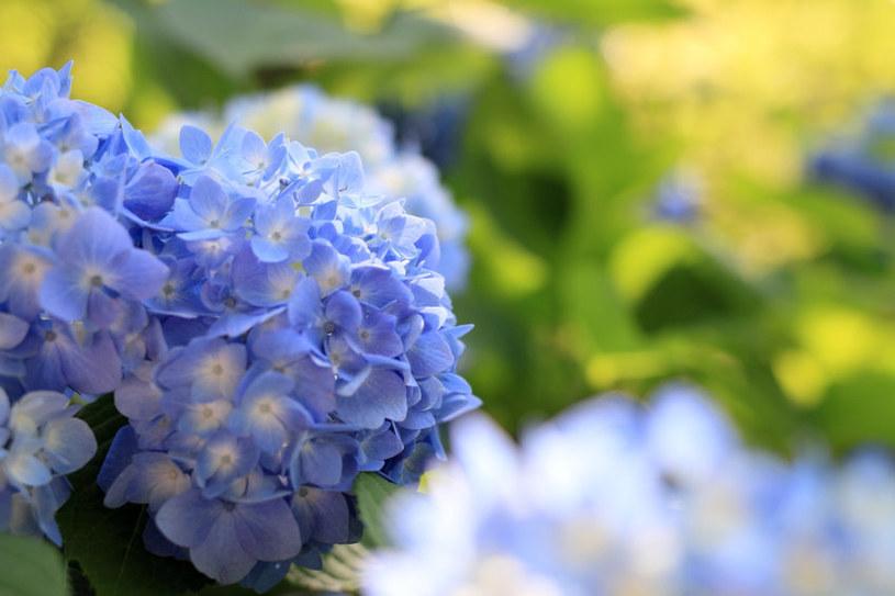 Hortensja to roślina, która powinna być w każdym ogrodzie /123RF/PICSEL