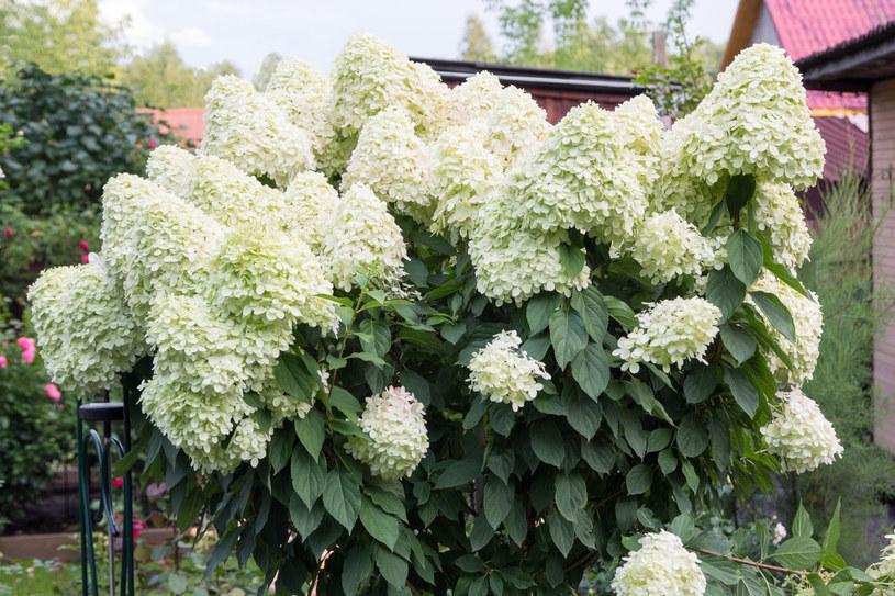 Hortensję bukietową można sadzić jako soliter, w szpalerach lub na rabatach /123RF/PICSEL
