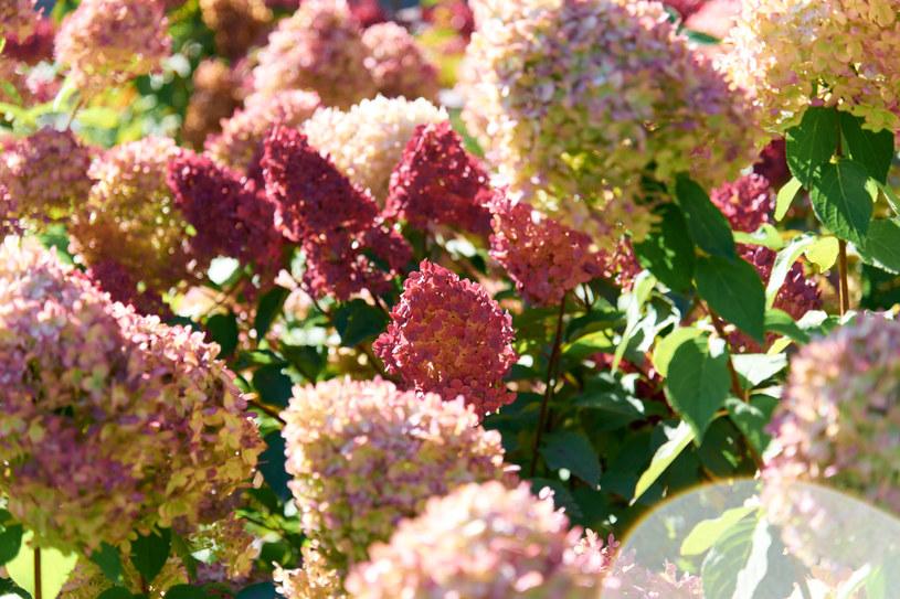 Hortensje bukietowe można sadzić od wczesnej wiosny do późnej jesieni /123RF/PICSEL