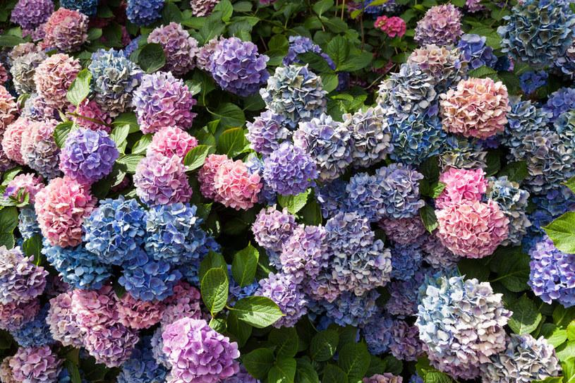 Hortensje w różnych kolorach wyglądają wyjątkowo efektownie /123RF/PICSEL
