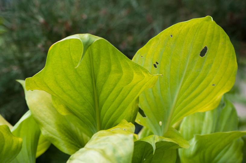 Hosta jest podatna na ślimaki /©123RF/PICSEL