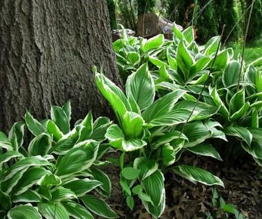 Hosta: Roślina o przepięknych liściach