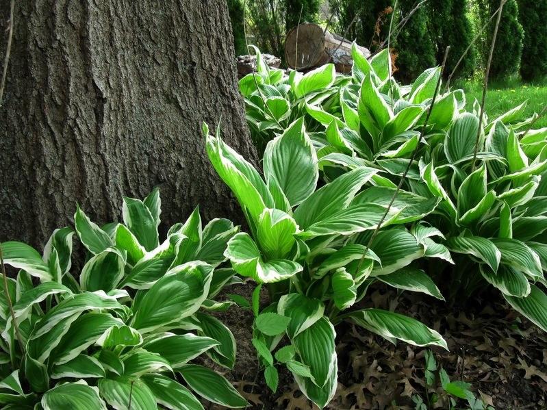 Hostę można sadzić pod drzewami i krzewami