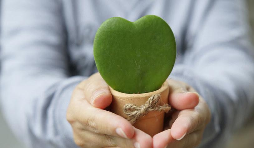 Hoya kerrii - jedna z oryginalnych roślin doniczkowych /©123RF/PICSEL