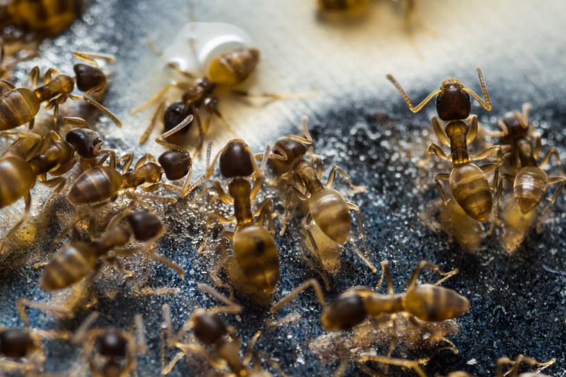 Hurtnice – bo tak nazywają się latające mrówki, latem uprzykrzają nam życie /123RF/PICSEL