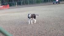 Husky bardzo nie chce wracać z parku