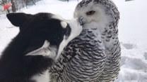 Husky i sowa śnieżna. Czy to międzygatunkowa przyjaźń?