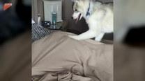 Husky najskuteczniejszym budzikiem. Zobaczcie sami