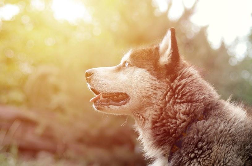 Husky to bardzo wymagające psy. Niewielu opiekunów sprosta zadaniu /123RF/PICSEL