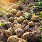 IERiGŻ: Zbiory ziemniaków mogą być o 11 proc. niższe
