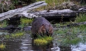 Igranie z bioróżnorodnością, czyli krótka historia o inwazji bobrów