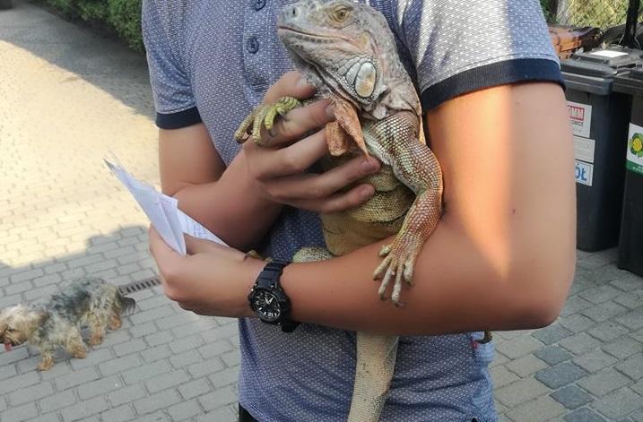 Iguana wróciła do właściciela /OSP CHEŁM ŚLĄSKI /