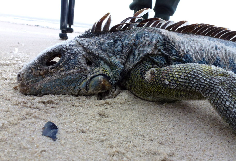 Iguana znaleziona na wyspie Mellum /SILKE SCHMIDT/MELLUMRAT E.V /PAP/EPA