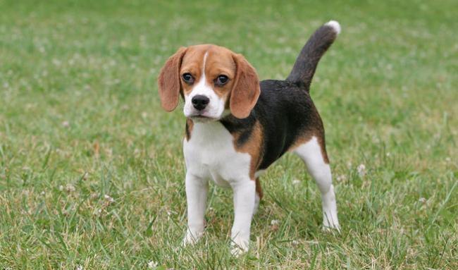 Ile lat żyje Beagle /© Photogenica