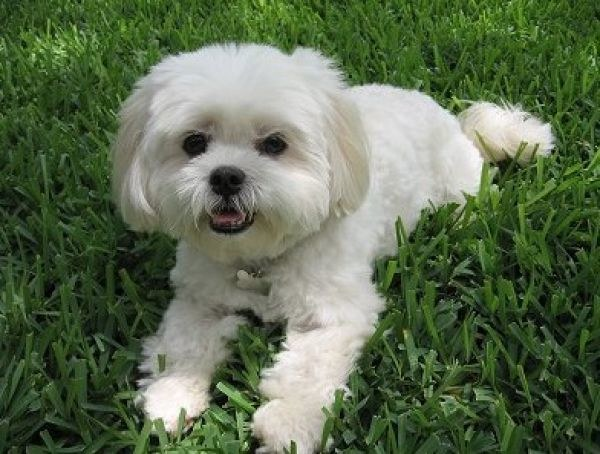 Ile lat żyje pies Maltańczyk /© Photogenica
