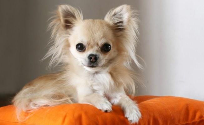 Ile żyje pies Chihuahua /© Photogenica