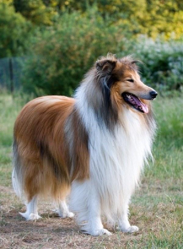 Ile żyje pies Collie /© Photogenica