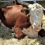 Indie: Tłum zlinczował muzułmanina podejrzanego o przemyt krów