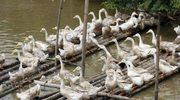 Indonezja: Już 78 ofiar ptasiej grypy