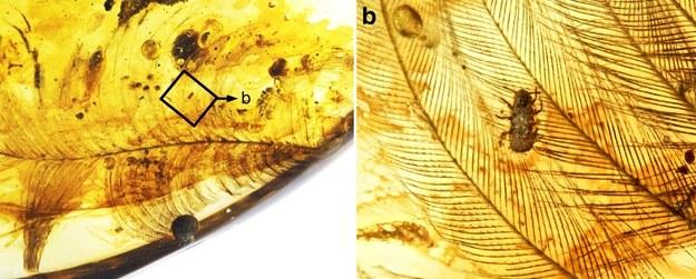 Inkluzje w bursztynie zawierające nimfy wszy uczepione piór dinozaurów z okresu Kredy /  Gao, T., Yin, X., Shih, C. et al. Nat Commun 10, 5424 (2019) /Materiały prasowe