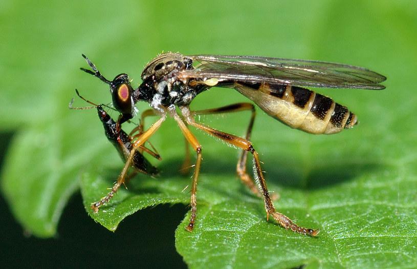 Inna mucha z rodziny Asilidae (gatunek Dioctria linearis) wysysa wnętrzności robaka z gatunku Anthocoris nemorum. Fot. André Karwath /Wikipedia