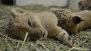 Internauci nadadzą imiona małym lwom z zoo w Oregonie