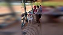 Intruz przy stole! Głodny emu dobierał się do posiłku