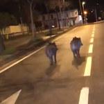 Inwazja dzików na ulicach Marsylii. Szukają żywności