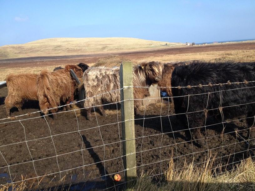 Isle of Skye - krowy rasy highland cattle Fot. /INTERIA.PL