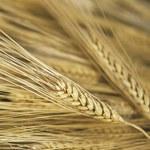 Izba Zbożowo-Paszowa: Zastój w handlu zbożem
