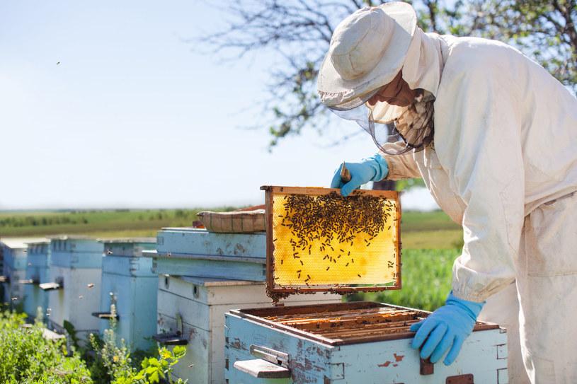 Izolator chmary to urządzenie, które wspiera pszczelarzy w walce z tak groźnym przeciwnikiem jak warroza /123RF/PICSEL