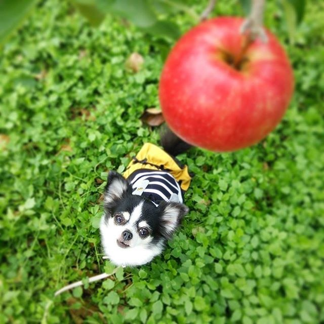 jabłka dla psa /© Photogenica